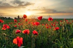 Fleur de champ de pavots sur le coucher du soleil Photo stock