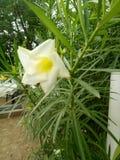 Fleur de Champa images libres de droits