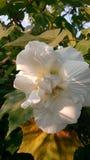 Fleur de changement de couleur Images stock