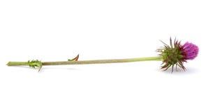 Fleur de chardon Photo libre de droits