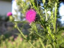 Fleur de chardon images libres de droits