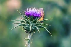 Fleur de chardon Photographie stock libre de droits