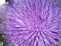 Fleur de chardon Photos stock