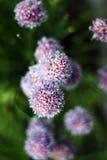 Fleur de chardon Photos libres de droits