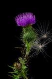 Fleur de chardon avec des graines. images libres de droits