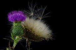 Fleur de chardon avec la cosse de graine. photos stock