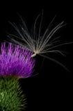 Fleur de chardon avec la graine. photographie stock