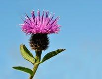 Fleur de chardon d'isolement d'isolement sur le fond bleu Photo stock