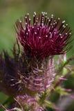 fleur de chardon de ressort Photo libre de droits