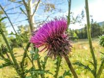 Fleur de chardon - pourpre Photos stock