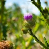 Fleur de chardon sur la branche Image stock
