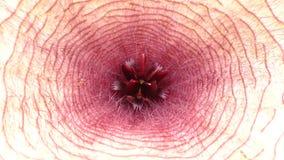 Fleur de charogne - étoile de mer africaine fermée Photos libres de droits