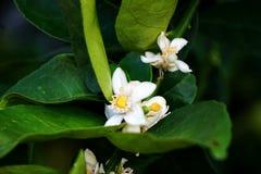 Fleur de chaux Photographie stock libre de droits