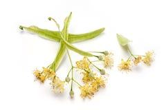 Fleur de chaux Photo stock