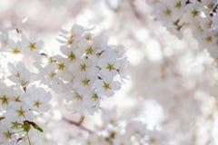 Fleur de Cheerry dans D C Photos libres de droits