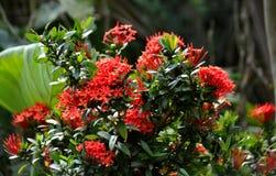 Fleur de chethi de coccinea d'Ixora Photographie stock libre de droits