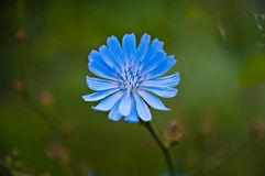 Fleur de chicorée Image libre de droits