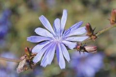 Fleur de chicorée Photo libre de droits