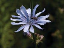 Fleur de chicorée Photos libres de droits