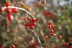 fleur de Chien-rose Images libres de droits