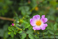 Fleur de chien-rose Image stock