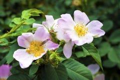 Fleur de chien-rose Photographie stock libre de droits