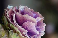 Fleur de chou avec les baisses de l'eau et le fond brouillé image libre de droits