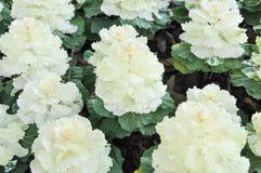 Fleur de chou dans la ferme d'agriculture Photo stock