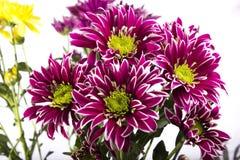Fleur de Chrisantemium Photographie stock