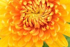 Fleur de chrysanthème Photographie stock