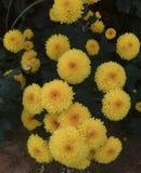 Fleur de chrysanthème Images libres de droits