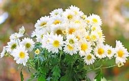 Fleur de chrysanthème Photos libres de droits