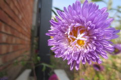 Fleur de chrysanthème Photo libre de droits