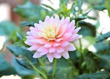 Fleur de chrysanthème Image libre de droits