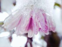 Fleur de chrysanthème dans la neige image libre de droits