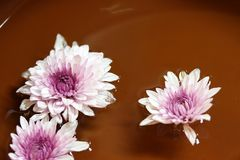 Fleur de chrysanthème dans le flottement pourpre et blanc de couleur images stock