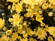 Fleur de chrysanthème - jaune Images libres de droits
