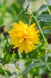 Fleur de chrysanthème, mamans ou chrysanths jaunes, genre chrysanthème dans l'Asteraceae de famille, champ vert, fin  Photographie stock libre de droits