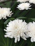 Fleur de chrysanthème ou de mamans Images stock