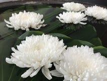 Fleur de chrysanthème ou de mamans Images libres de droits