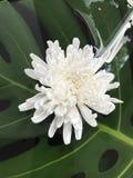 Fleur de chrysanthème ou de mamans Photographie stock libre de droits