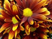 Fleur de chrysanthème - rouge et jaune Photographie stock libre de droits