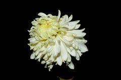 Fleur de chrysanthème de fleur de chrysanthème sur un fond noir image libre de droits