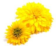 Fleur de chrysanthème sur une longue tige sur un fond blanc Images stock
