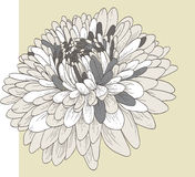 Fleur de chrysanthemum Images libres de droits