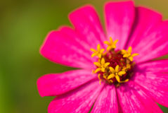 Fleur de chrysanthemum de pollen. Photos stock