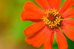 Fleur de chrysanthemum de pollen. Images libres de droits