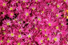 Fleur de chrysanthemum à l'arrière-plan de jardin Image libre de droits