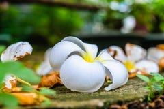 Fleur de chute de Plumeria photo stock