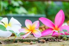 Fleur de chute de Plumeria photographie stock libre de droits